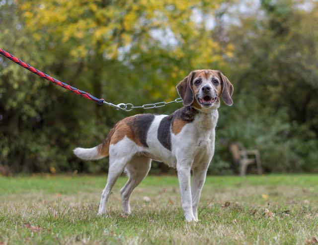 MISS - x beagle 11 ans - Spa de Carquefou (44 DSC_1502
