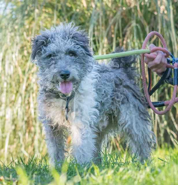 EMILE - x fox terrier 11 ans - Spa de Carquefou (44) DSC_8331-2