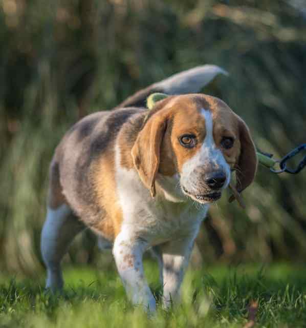 MOZART - beagle ... ans - Spa de Carquefou (44) DSC_8550