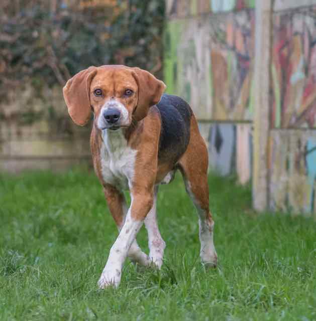 ALFRED - beagle 8 ans - Spa de Carquefou (44) DSC_8756