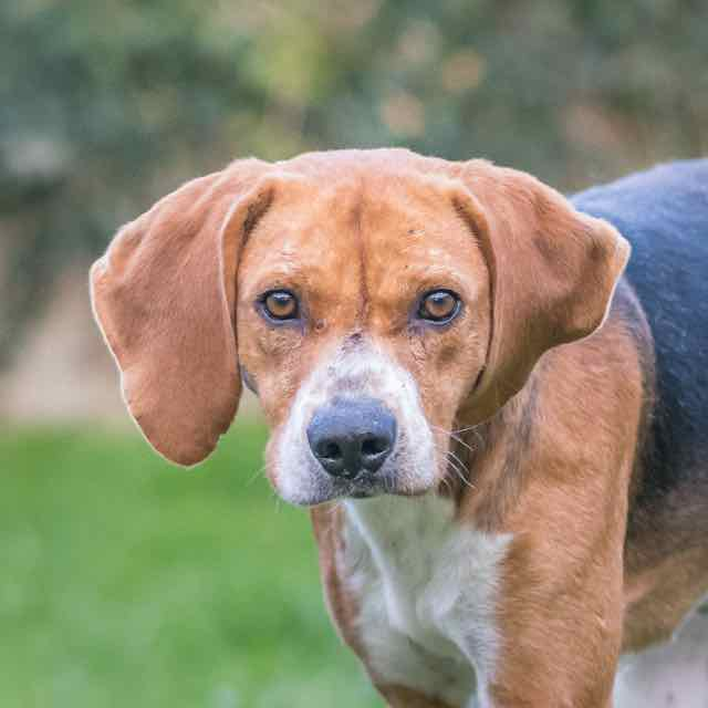 ALFRED - beagle 8 ans - Spa de Carquefou (44) DSC_8759
