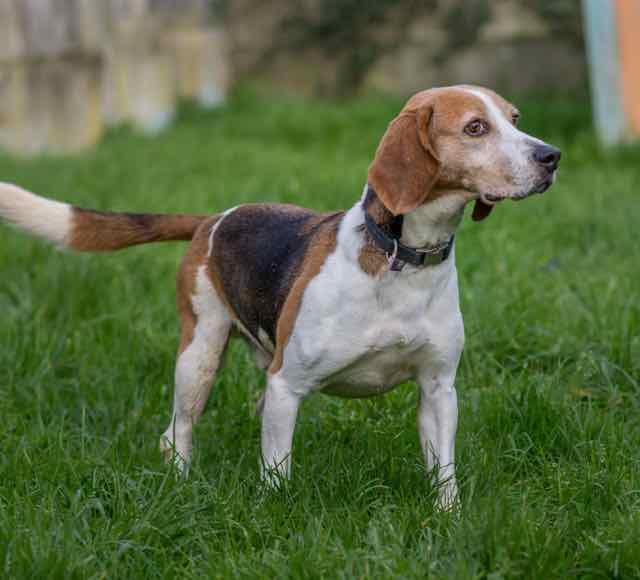 VERDUN - beagle  - Spa de Carquefou (44) DSC_8862