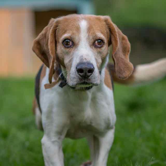 VERDUN - beagle  - Spa de Carquefou (44) DSC_8887