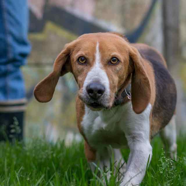 VOUVRAY - beagle   - Spa de Carquefou (44) DSC_8916